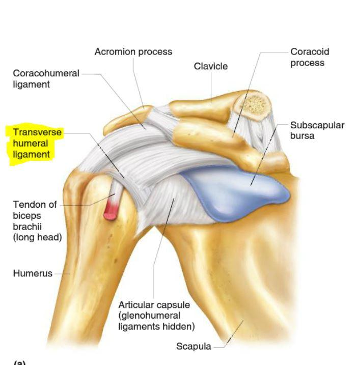 The Shoulder Joint - Treat The Athlete